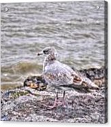 Waiting Gull Acrylic Print