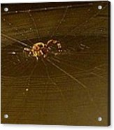 Waiting Spider Acrylic Print