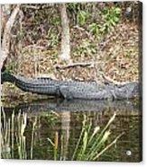 Wakulla Springs Alligator Acrylic Print
