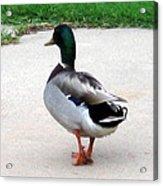 Walking Duck Acrylic Print