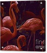 Walking Flamingos Acrylic Print