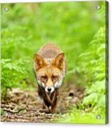Walking Fox Acrylic Print