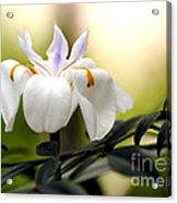 Walking Iris Flower Acrylic Print