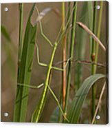 Walking Stick Insect Acrylic Print by Ted Kinsman