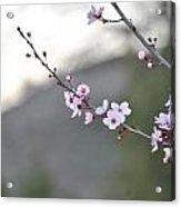 Walnut Creek Blossoms Acrylic Print