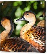 Wandering Whistling Ducks Acrylic Print