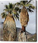 Washingtonia Filifera Fan Palms Acrylic Print
