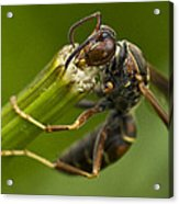 Wasp Eating Acrylic Print by Dean Bennett