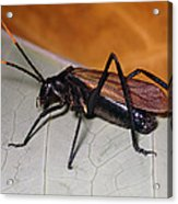 Wasp Mimic Bush Cricket Acrylic Print