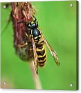 Wasp On Plant Acrylic Print