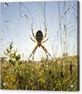 Wasp Spider Argiope Bruennichi In Web Acrylic Print