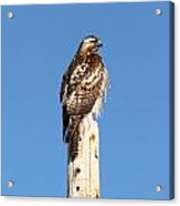 Watchful Hawk Acrylic Print
