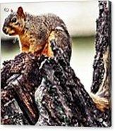 Watchful Squirrel Acrylic Print