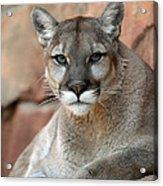 Watching Cougar Acrylic Print