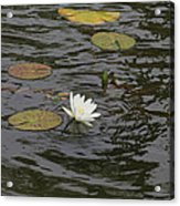 Water Circles On The Lily Pond Acrylic Print