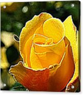 Water Color Paper Rose Acrylic Print