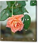 Water Dripping From A Peach Rose After Rain Acrylic Print