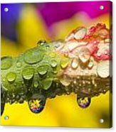 Water Drops On A Budding Flower Acrylic Print