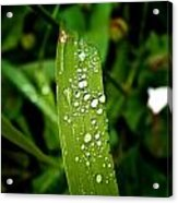 Water Drops On Blade Of Grass Acrylic Print