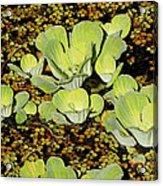 Water Lettuce Acrylic Print