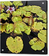 Water Lillies And Pads Acrylic Print