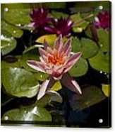 Water Lilly 6 Acrylic Print