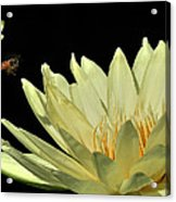 water lily 3 Yellow Water Lily with Bee Acrylic Print
