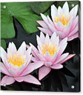 water lily 88 Sunny Pink Water Lily with Reflection Acrylic Print