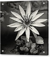 Water-lily  Acrylic Print