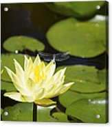 Water Lily Dragonfly Acrylic Print