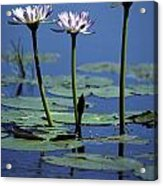 Water Lily Flowers Bloom From A Wetland Acrylic Print