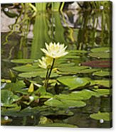 Water Lily Garden 1 Acrylic Print