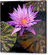 Water Lily Magic Acrylic Print