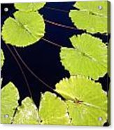 Water Lily Pads And Bloom Acrylic Print