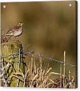 Water Pipit On Post Acrylic Print