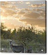 Waterbuck Kobus Ellipsiprymnus Mother Acrylic Print