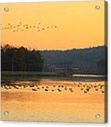 Waterfowl At Turners Falls Canal Acrylic Print