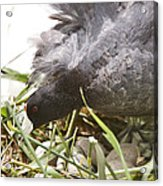 Waterhen Coot On Nest With Eggs Acrylic Print