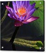 Waterlily 1 Acrylic Print