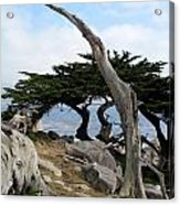 Weathered Tree On California Coast Acrylic Print