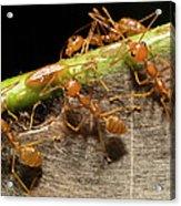 Weaver Ant Oecophylla Longinoda Group Acrylic Print