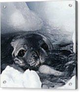 Weddell Seal Acrylic Print