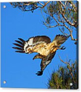 Wedge-tailed Eagle Acrylic Print