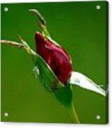 Weeping Rose Bud Acrylic Print