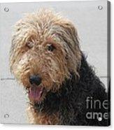 Well Trained Dog Acrylic Print