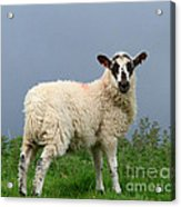 Wensleydale Lamb Acrylic Print