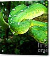 West Amazonian Emerald Tree Boa Acrylic Print