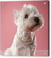 West Highland Terrier Wearing Pearl Necklace Acrylic Print