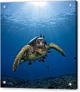 West Maui Sea Turtle Acrylic Print