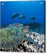 West Maui Sea Turtles Acrylic Print